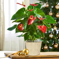 Red Anthurium in Planter