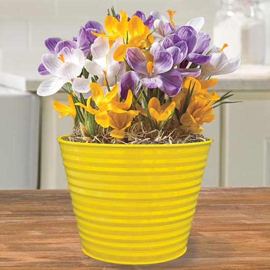 January Plant of the Month — Mixed Crocus