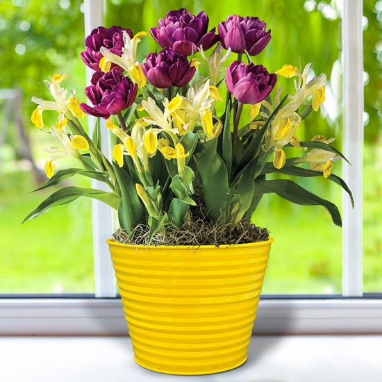 April Bulb Garden of the Month - Tulips and Iris