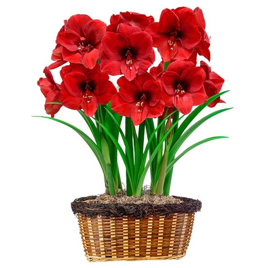 Big Red Amaryllis