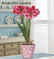 Amaryllis Lovers