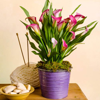Spring Calla Lily Planter